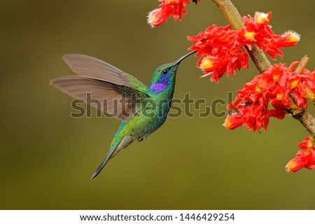 Green Violet-ear, Colibri thalassinus, flying in the nature tropical wood habitat, red flower, Tapanti NP, Costa Rica. Wildlife scene from jungle. Hummingbird with pink bloom in forest habitat.  #1446429254