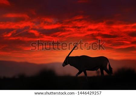 Oryx with orange sand dune evening sunset. Gemsbock large antelope in nature habitat, Sossusvlei, Namibia. Wild desert. Gazella beautiful iconic gemsbok antelope from Namib desert, sunrise Namibia.  #1446429257