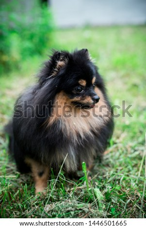 German Spitz in the grass #1446501665