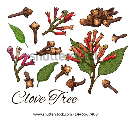 Colorful Clove Tree hand drawn set. Retro botanical line art. Medical herb and spice. Vintage raw Cloves branch with flowers, leaves and buds. Herbal vector illustration isolated on white background Royalty-Free Stock Photo #1446569408