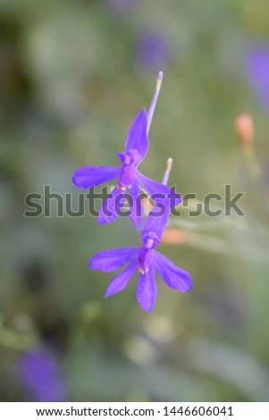Consolida regalis known as forking larkspur, rocket-larkspur and field larkspur. Violet wild flowers on a light background. #1446606041