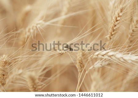 Field of mature wheat background. bee on the spikelet #1446611012
