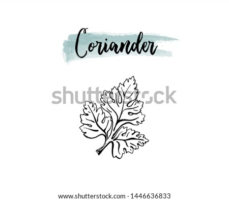 Vector outline hand drawn coriander or parsley leaf. Black and white isolated culinary herbs. #1446636833