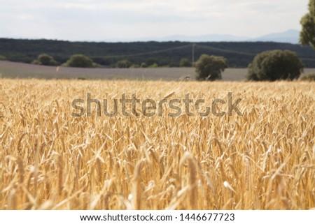 Field of wheat, Harwest of bread wheat , Triticum aestivum, Triticum monococcum #1446677723