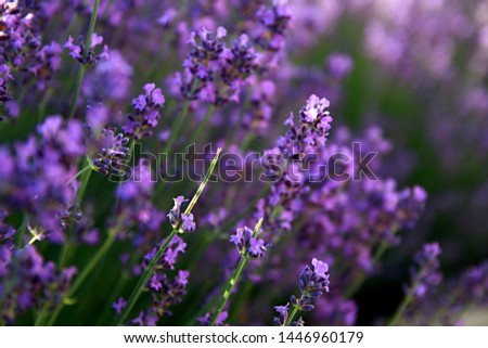 lavender Flower's in a field filled with colours and fragrance no people stock photo
