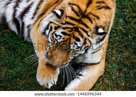 Tiger. Portrait of a beautiful bengal tiger. Amur Siberian Tiger #1446996344
