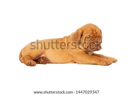 Cute puppy French breed dogue de Bordeaux lying isolated on a white background with copy space #1447029347