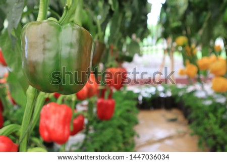 fresh bell pepper in the garden on the tree , Thailand #1447036034