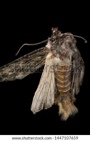 A macro view of battered and distressed woolly moth on a black background #1447107659
