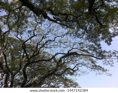 Close look up high beauty view of green lush trees leaves plant with vast blue sky sun light white cloud background. at park garden forest natural. Tall branches pond pine. Fresh air clear summer day  #1447142384