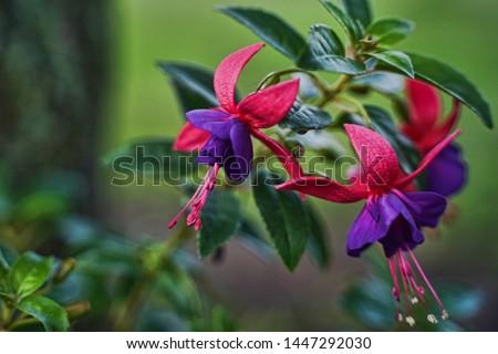Beautiful Fuchsia plant. Fuchsia flowers in full bloom. Unique trio of flowers. Pink and purple flowers. Upright fuchsia.                    #1447292030