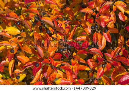 Black-fruited cotoneaster (Cotoneaster melanocarpus) with reddened leaves in autumn, background #1447309829