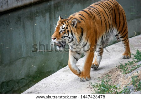 the tiger imposingly goes on the concrete path and rests, a beautiful powerful big tiger cat on the background of summer green grass, stones and green water in the zoo. Close-up. #1447426478