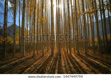 Natures beauty with high rise trees sunlight effect down from trees to earth giving perfect look of forest best to spend some lonely time within this amazing natures beauty.  #1447449794