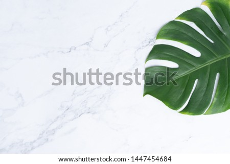 Isolate Dark green Monstera large leaves, philodendron tropical foliage plant growing in wild on white mable rock background concept for flat lay summer greenery leaf texture rainforest floral #1447454684