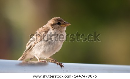 young female sparrow sitting on a wall   #1447479875