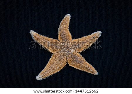 Sea star starfish species from the northern sea in europe five arms front #1447512662