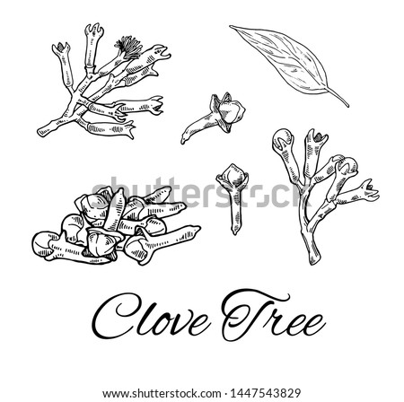 Ink Clove Tree hand drawn set. Retro botanical line art. Medical herb and spice. Vintage raw Cloves branch with flowers, leaves and buds. Herbal vector illustration isolated on white background Royalty-Free Stock Photo #1447543829