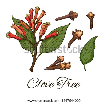 Colorful Clove Tree hand drawn set. Retro botanical line art. Medical herb and spice. Vintage raw Cloves branch with flowers, leaves and buds. Herbal vector illustration isolated on white background Royalty-Free Stock Photo #1447544000