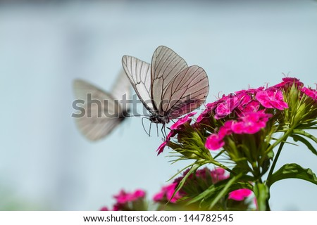 the beautiful white butterfly sits on flowers #144782545