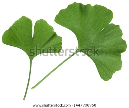 Ginkgo leaf isolated. Gingko tree plant green leaves isolated on white background, close-up #1447908968