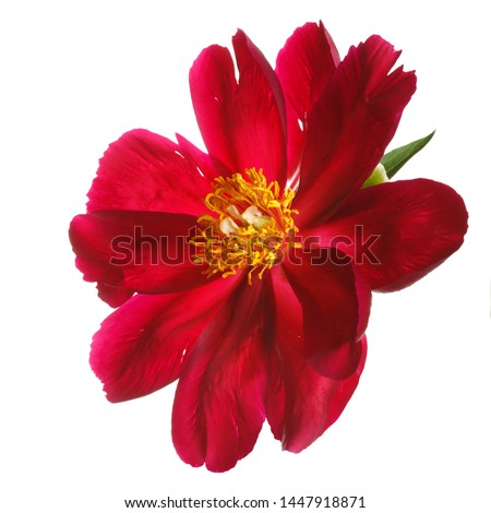 Red peony flower isolated on white background. #1447918871
