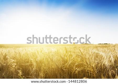 Wheat field under blue sky. Golden sunset in wide meadow. Ukraine. #144812806