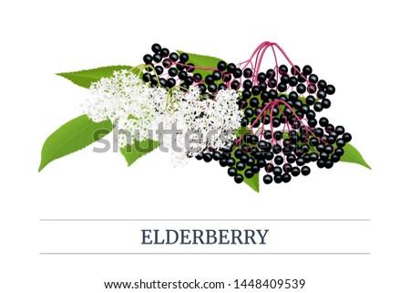 Black elderberry Stripe label, copy space with twig, berries, flowers, leaves. Sambucus. black elder, European elderberry. Vector illustration. For food, medicine, drinks syrups labels culinary #1448409539