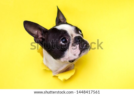 Dog breed Boston Terrier pushes his face into a paper hole yellow. #1448417561