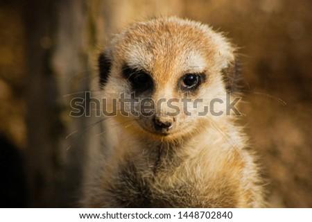 Meerkat (Suricata suricatta) adult male close up to face #1448702840