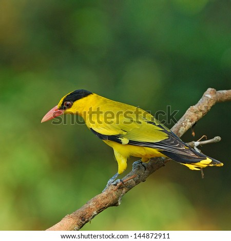 Black-naped Oriole(Oriolus chinensis) #144872911