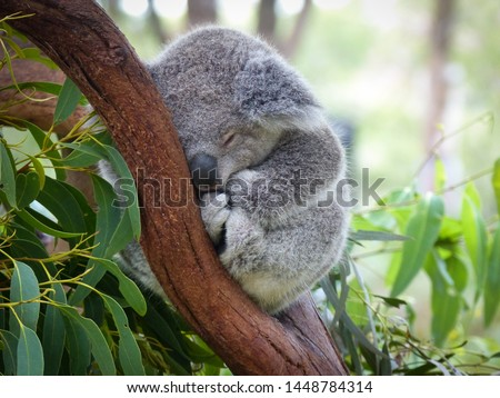 Cute Sleeping Baby Koala Bear in Queensland Australia sitting in Eucalyptus Tree. Adorable Sleepy Koala. #1448784314