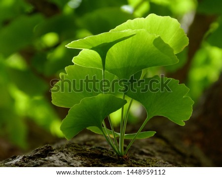 Selective focus of Ginkgo Biloba tree leaves & twig closeup. Beautiful bright yellow green leaves with soft blurry background. Represents herbal medicine concept, Natural medicine & homeopate concept #1448959112