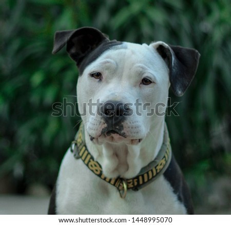 A pitbull looking at the camera when I take her a picture (dog)