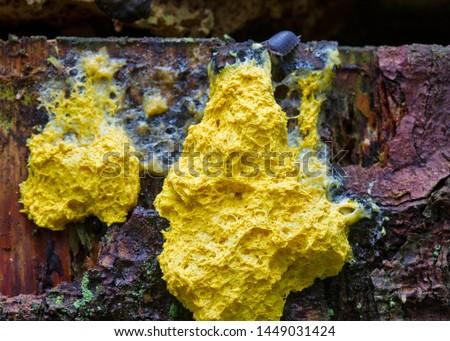 Common rough woodlouse eating Scrambled egg slime, a yellow slime mold #1449031424