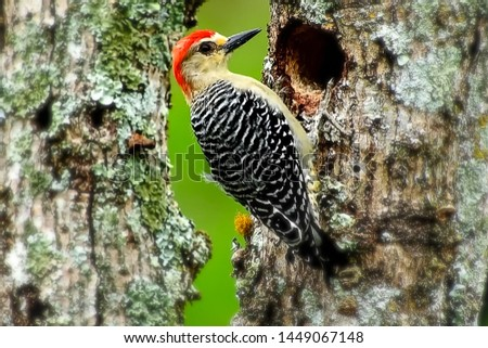 Stripe-breasted Woodpecker is on the tree and its nest. #1449067148