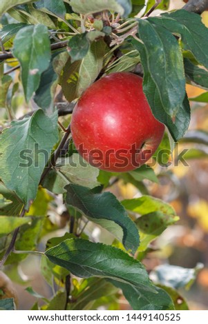 Red apple ripens on the branch in the garden. Mellow apples hanging from a tree branch in an orchard. Nature background. #1449140525