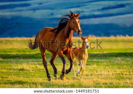 A beautiful brown mare nurturing and teaching her sweet new little foal on a golden summers evening Royalty-Free Stock Photo #1449181751