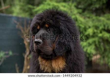 Puppy of Tibetan mastiff black color. Portrait of a dog on a background of green summer. #1449204932
