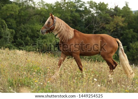 Brown horse welsh pony with long blond mane walking in green grass with forest on background  #1449254525