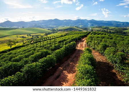 coffee plantations of arabica type in Carmo de Minas, in the Serra da Mantiqueira, in Minas Gerais, Brazil  #1449361832