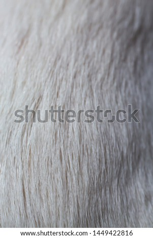 Jack Russell Terrier's white fur, Close up & Macro shot, Selective focus, Animal hair, Dog body parts concept #1449422816