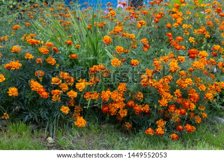 Tagetes patula flowers in the garden,The flower Tagetes patula in the garden in autumn bloom #1449552053