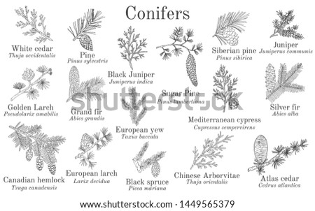 Set of different conifiers branches with cones. Hand drawn botanical vector illustration #1449565379