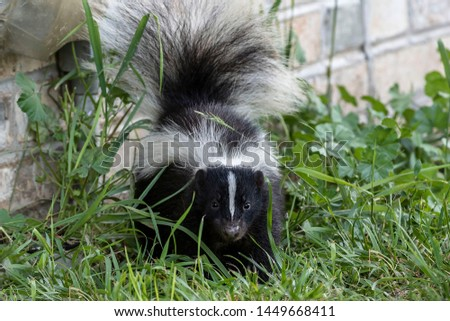 Young striped skunk (Mephitis mephitis) near the human dwelling  #1449668411