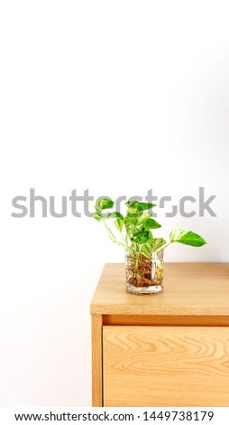 Golden Pothos or Epipremnum aureum in the glass on wooden cabinet with white background. #1449738179