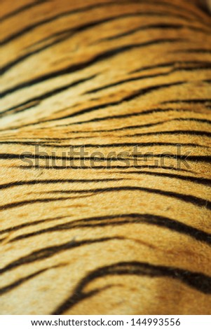 beautiful tiger fur texture of real tiger skin and fur