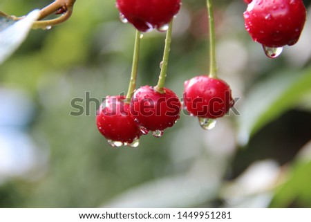 Fruits of a cherry with drops of water after the rain are lit by the sun. Natural macro background.  Hd wallpaper  nature wallpapers for desktop backgrounds. #1449951281