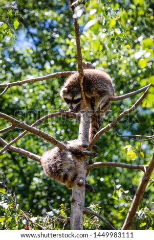 Raccoons in a tree branch