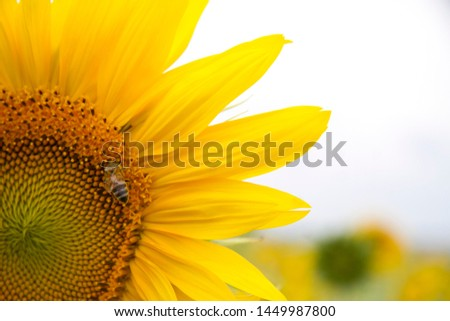 Close-up of a half sunflower, in a sunflower sitting bee collecting pollen. #1449987800